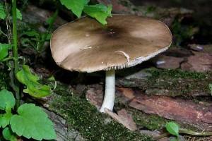 Pluteus cervinus, the edbile Dear Mushroom.