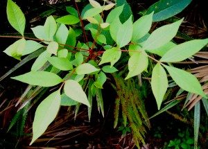 Note Poison Sumac very red stems when young