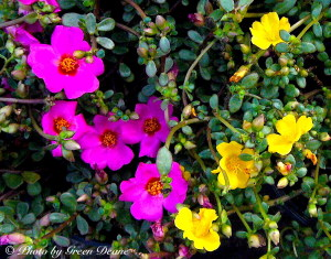 Other Portulacas may or may not be edible. Phot by Green Deane