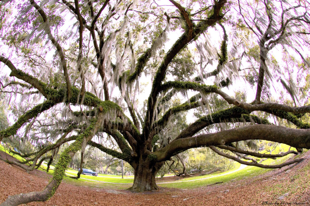 A Live Oak in Winter Park, Florida. Photo by Green Deane