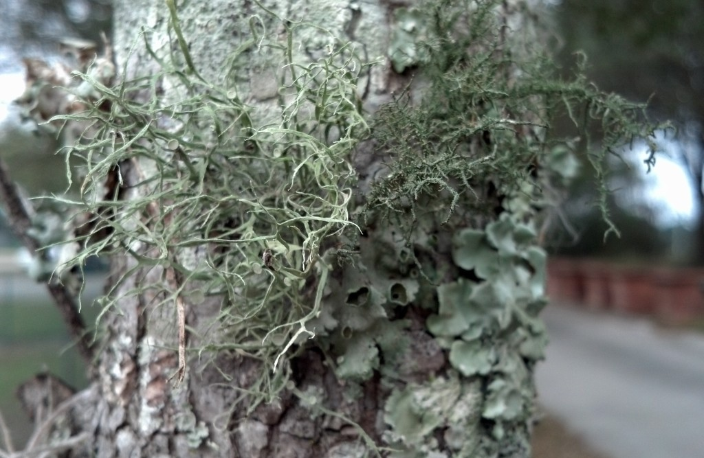 Ramalina and Usnea abover rag lichen.