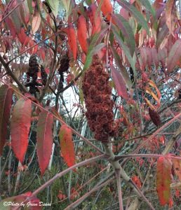 The hairs on sumac berries also have vitamin C. Photo by Green Deane