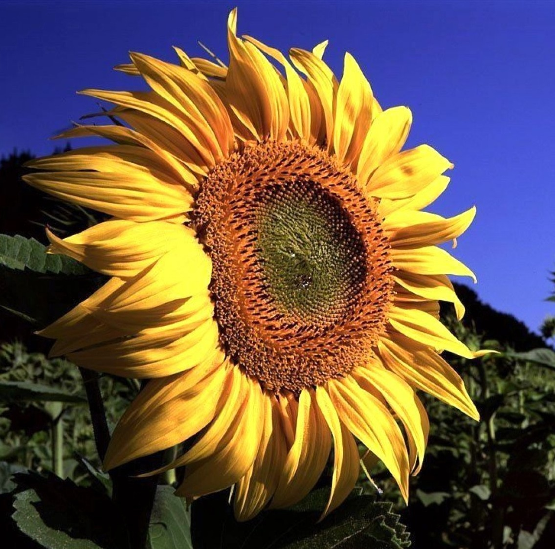 Sunflowers Seeds And More Eat The Weeds And Other Things Too