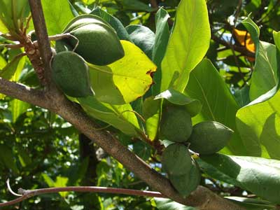 The outside of the tropical almond is edible as is the nut inside.