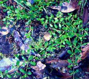 Water Hyssop is half the size of Purslane and does not redden.