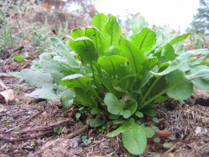 Sorrel: Not A Sheepish Rumex - Eat The Weeds and other