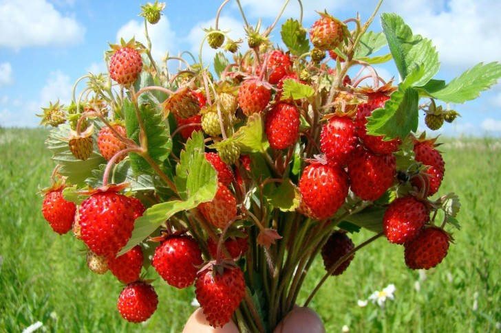 Native to most parts of that area, the common strawberry occasionally grows in wetlands as well. The common strawberry is hardy in U.S. Department of Agriculture (USDA) plant hardiness zones 3 to 8.