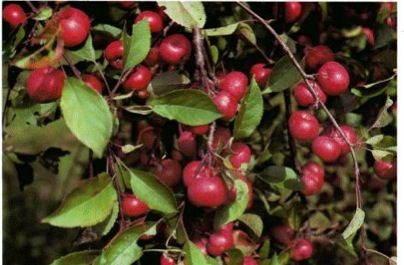 Crabapple - Plant of the Week!