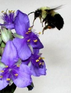 Bee approaching a Spiderwort blossom, photo by Green Deane