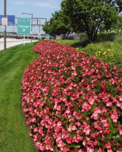 Begonias are a common bedding plant. Make sure they have not been sprayed.