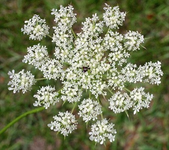 Wild carrots and queen annes lace eat the weeds and other things too wild carrot mightylinksfo