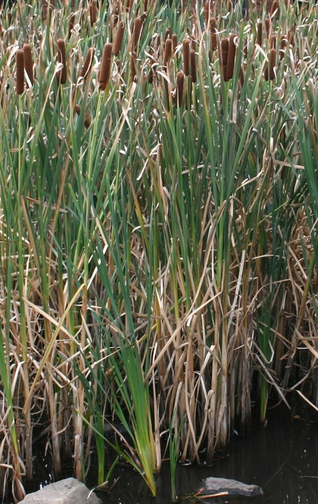 Cattails are not native to many areas of North America. Photo by Brandeis University