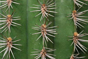 Cactus spines are actually leaves.
