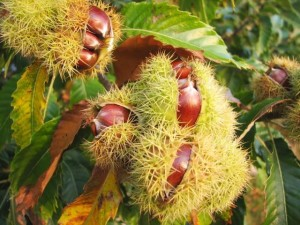 "Europe now provides most of the ""sweet"" chestnuts."