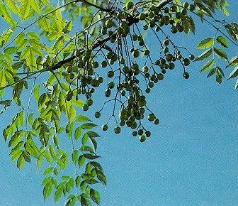 Toxic Chinaberry Tree, photo by West Virginia Uni.