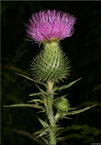 Bull thistle, photo by Walter Obermayer