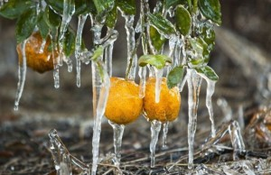 The ice keeps the citrus from freezing
