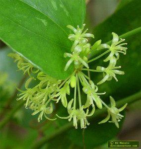 Smilax auriculata blossom