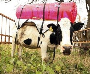 Cow in methane production study