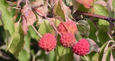 Kousa dogwood eat the weeds and other things too kousa dogwood fruit mightylinksfo
