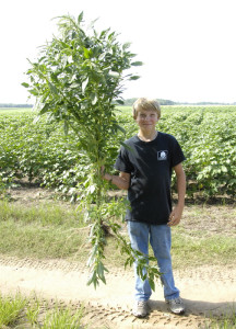Lane Williams pulled this pigweed mid-summer, 2012, photo by Seminole Crop E-News..