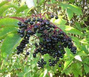 Don't eat too many raw elderberries.