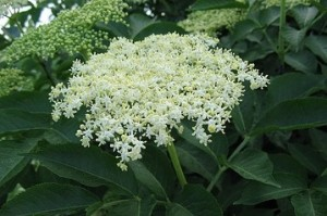 Elderberry blossoms can be dried to make tea or can be added fresh to fritters.