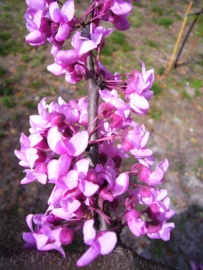 Eastern Red Bud Pea Pods Tree Eat The Weeds And Other Things Too