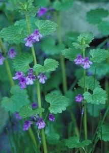 Henbit: Top of the pecking order - Eat The Weeds and other