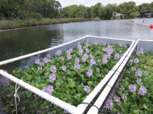 When trapped Water Hyacinths can clear algae and clean water.