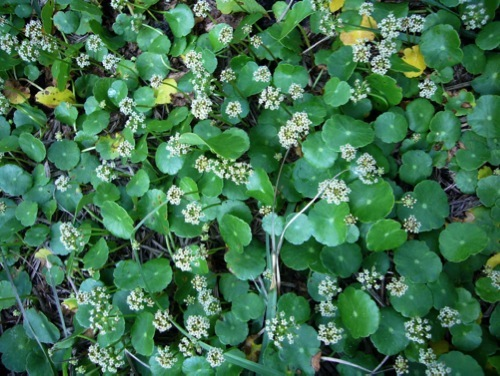Pennyworts Making Sense - Eat The Weeds and other things, too