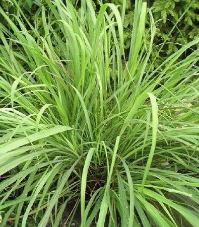 Lemon Grass Eat The Weeds And Other Things Too