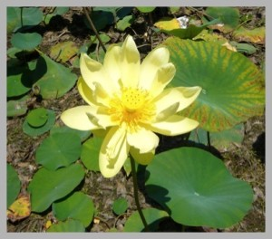 American Lotus Blossom. Photo by Green Deane