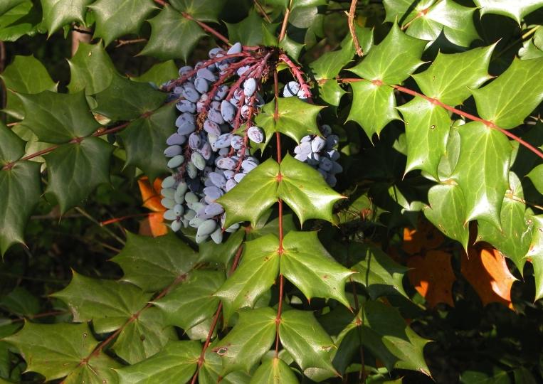 Leatherleaf Mahonia, photo by Invasive.org