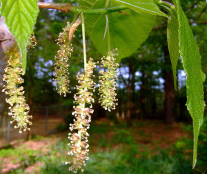 Fruiting Mulberry in Blossom. Photo by Green Deane