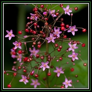 Talinum paniculatum, photo by Seed And All.