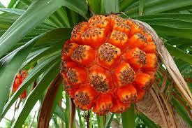 Pandanus fruit, photo by Stephanie's Dad