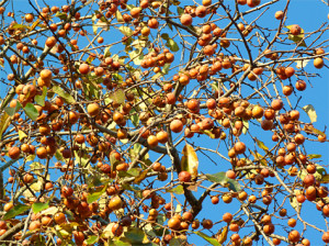 Nothing resembles a ripe wild persimmon tree.