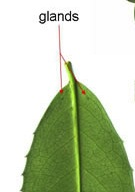 The toxic Cherry Laurel has two glands on the back of every leaf near the stem.