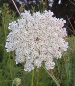 Wild Carrot, photo by Ilovequeenanneslace.com.