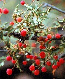 Red Hollygrape, photo by Hirt garden