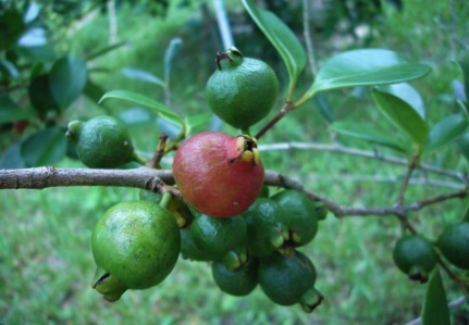 Strawberry Guava - Eat The Weeds and other things, too