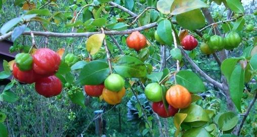 10 SURINAM CHERRY SEEDS    FRESH FROM FLORIDA