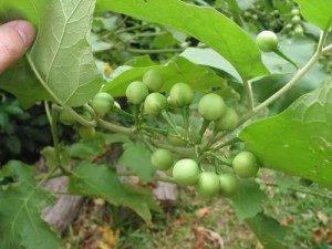 Trukey Berries, photo by GardeningwihtWilson