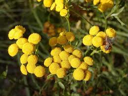Tansy Mustard, Western - Eat The Weeds and other things, too