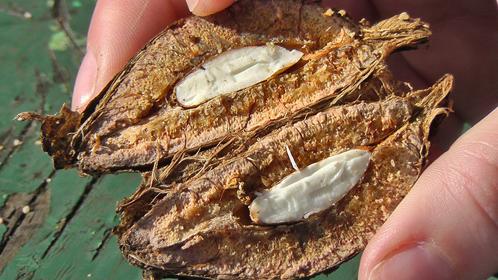 Tropical Almond, image courtesy The 3 Foragers