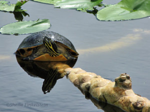 (Edible) turtle on a Spatterdock root. Photo by Shirley Fincklestein.