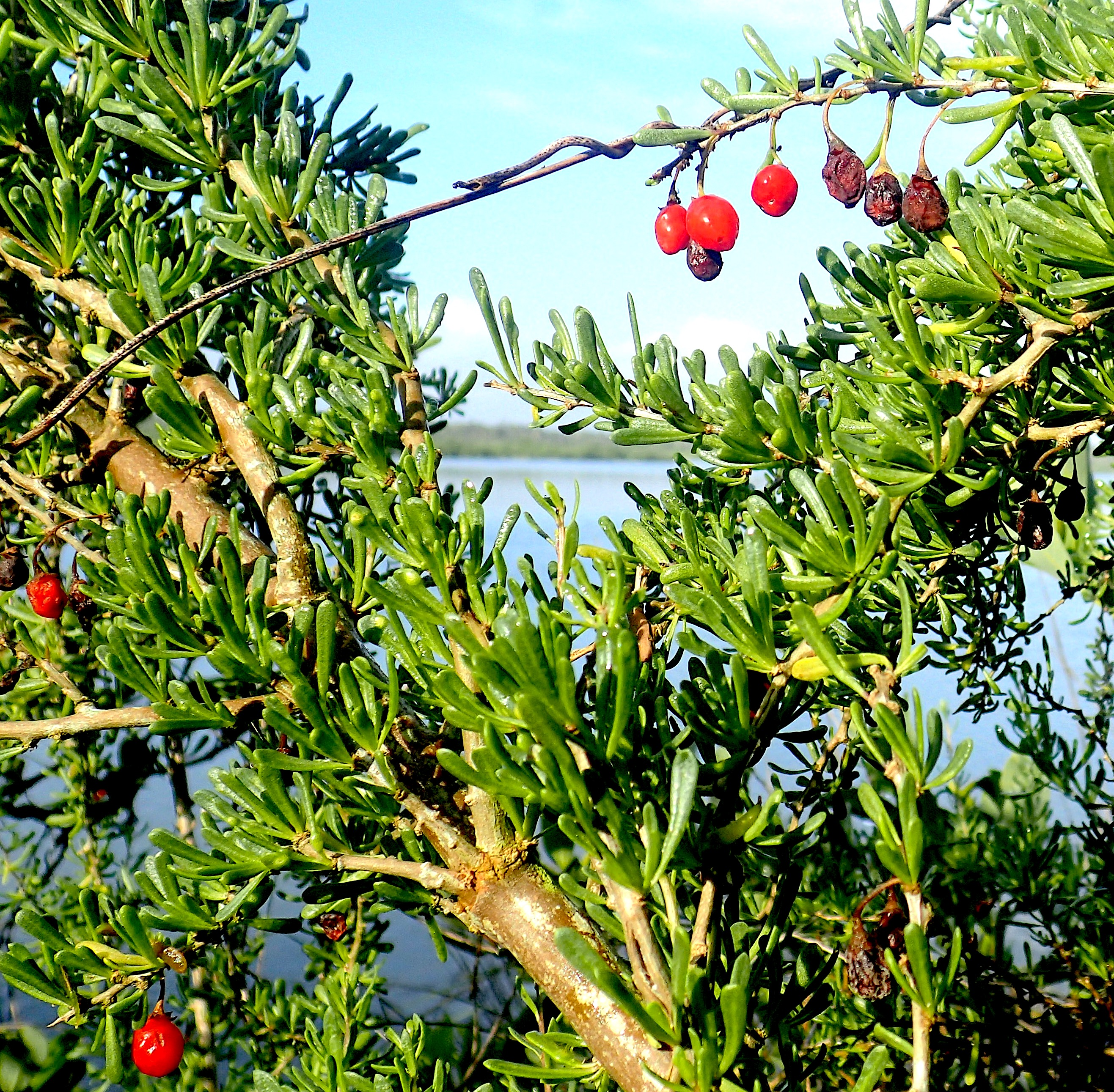 Christmasberry Wolfberry Goji Eat The Weeds And Other Things Too