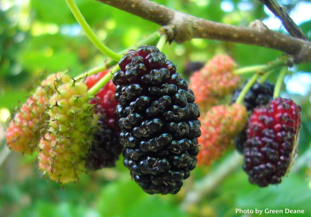 Pictures Of Different Types Of Mulberries