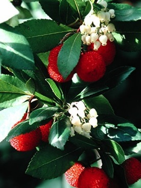 Koumaria In Blossom